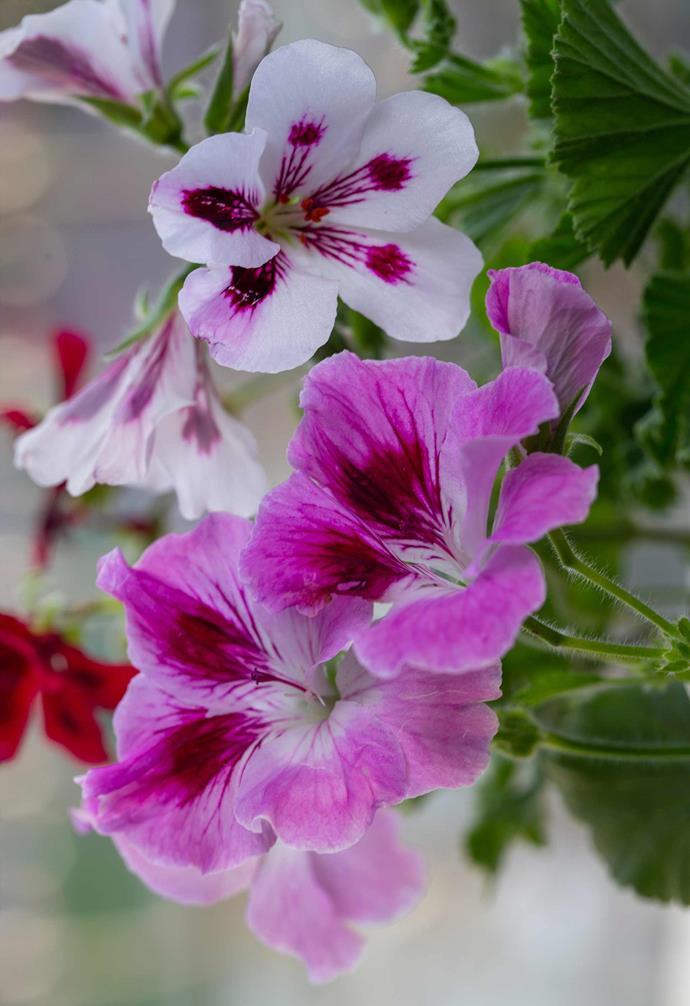 **IVY GERANIUM** (*Pelargonium peltatum*) adds bright flower colour to sunny vertical gardens. Prune in early autumn to renew.<br><br>