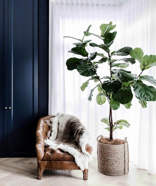 Keep your fiddle leaf fig in a small pot to avoid it outgrowing your apartment.