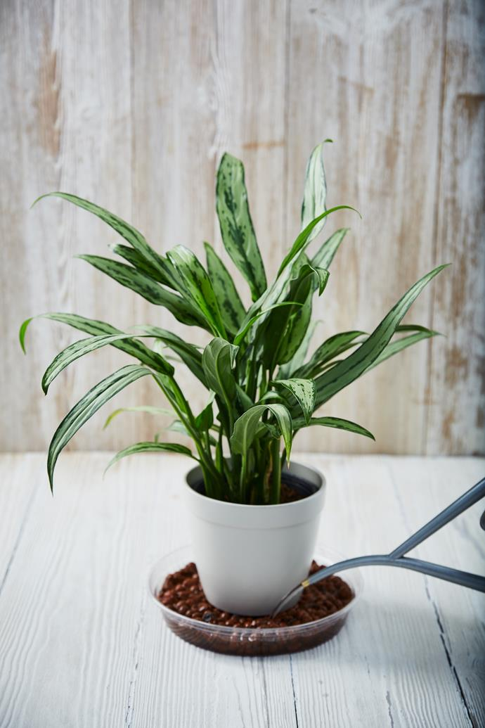"The Chinese evergreen is one of the more [low-maintenance indoor plants](https://www.homestolove.com.au/how-to-care-for-indoor-plants-5670|target=""_blank"") to choose."