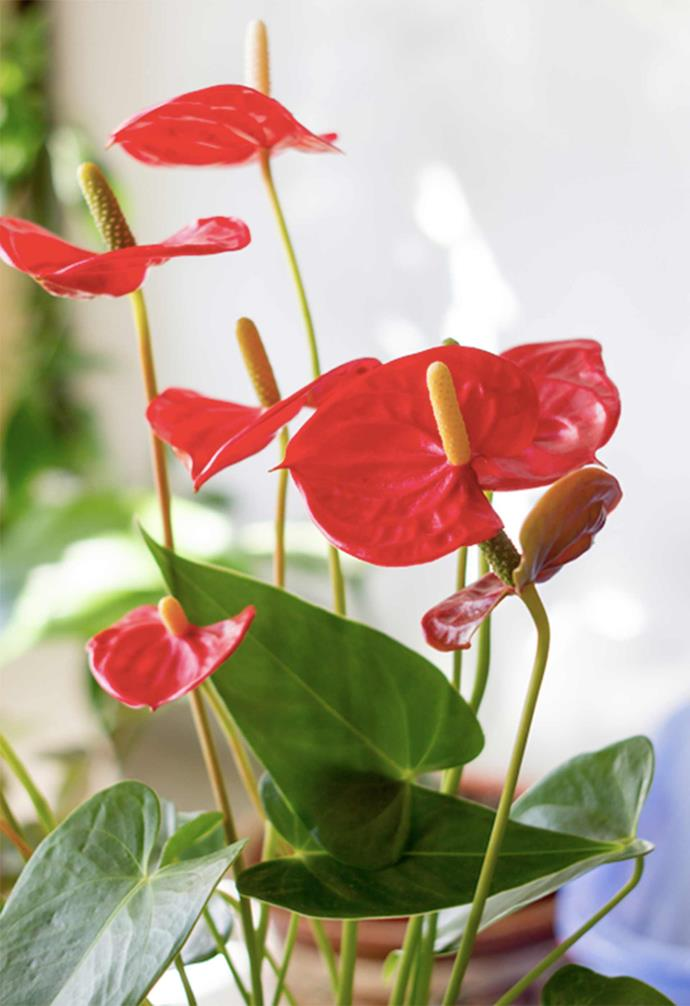 "Whether indoors or out, the flamingo lily (*anthurium*) [performs extremely well as a potted plant](https://www.homestolove.com.au/top-performing-potted-plants-for-your-garden-2183|target=""_blank"")."