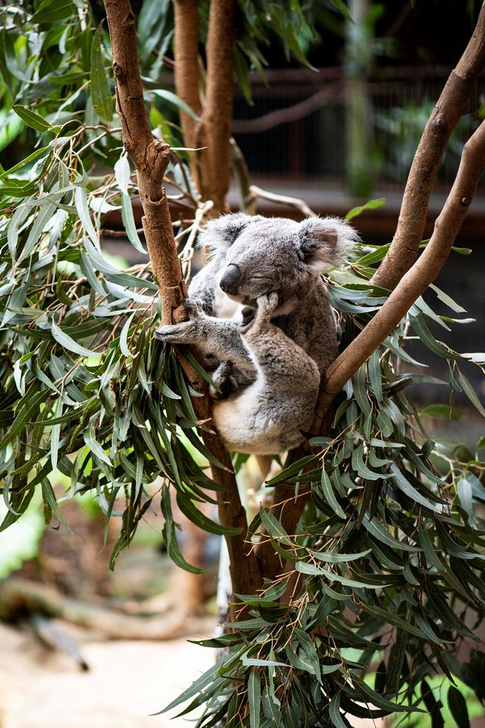 A koala at Blackbutt Reserve.