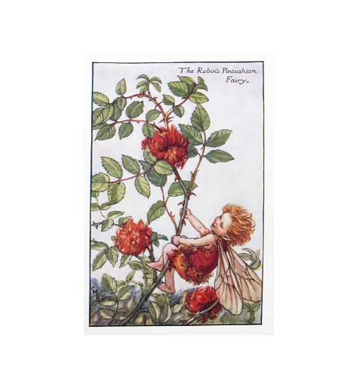 "Cicely Mary Barker Flower Fairies – The Robin's Pincushion Fairy, $65 [Trowbridge Gallery](https://trowbridgegallery.com.au/product/cecily-mary-barker-flower-fairies-the-robins-pincushion-fairy/|target=""_blank""