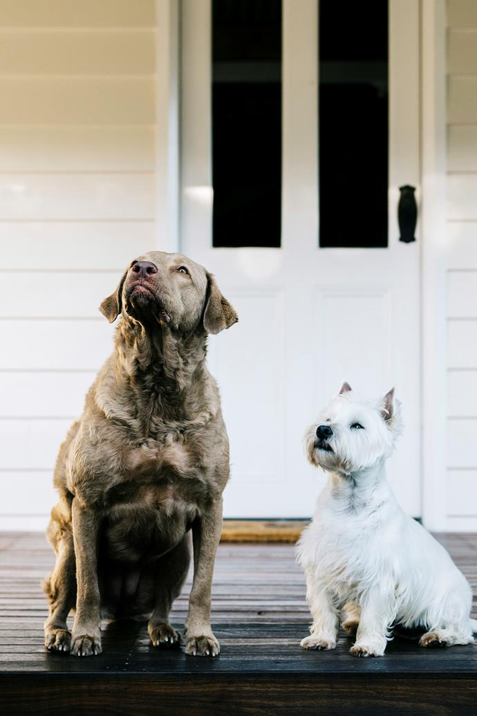 Four-year-old Chesapeake Bay retriever Betty and Ted, the West Highland terrier, on the verandah.