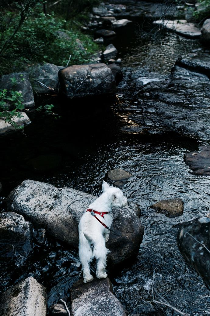 West Highland terrier Ted exploring a brook.