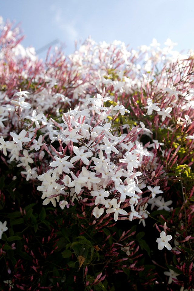 Jasmine is a fragrant climber that flowers in spring.