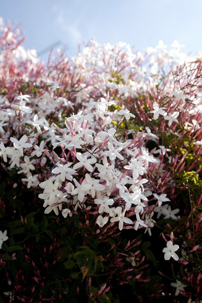 Jasmine flowers in spring and responds well to pruning, promoting new growth and, in turn, more flowers.