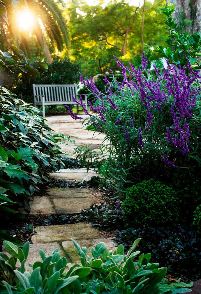 Lining the pathway in are purple Mexican sage (*Salvia leucantha*), the foliage of a Tahitian lime tree (*Citrus aurantifolia*), oak-leaf hydrangea and vein-leafed *Strobilanthes*.