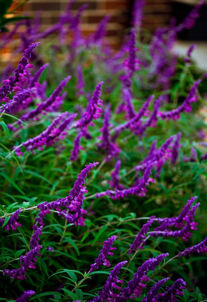 Purple Mexican sage (*Salvia leucantha*) was chosen for its foliage texture and long flowering time.
