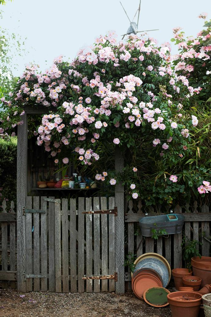 The climbing floribunda rose 'Renae' tumbles over the gate that leads to the chicken house.