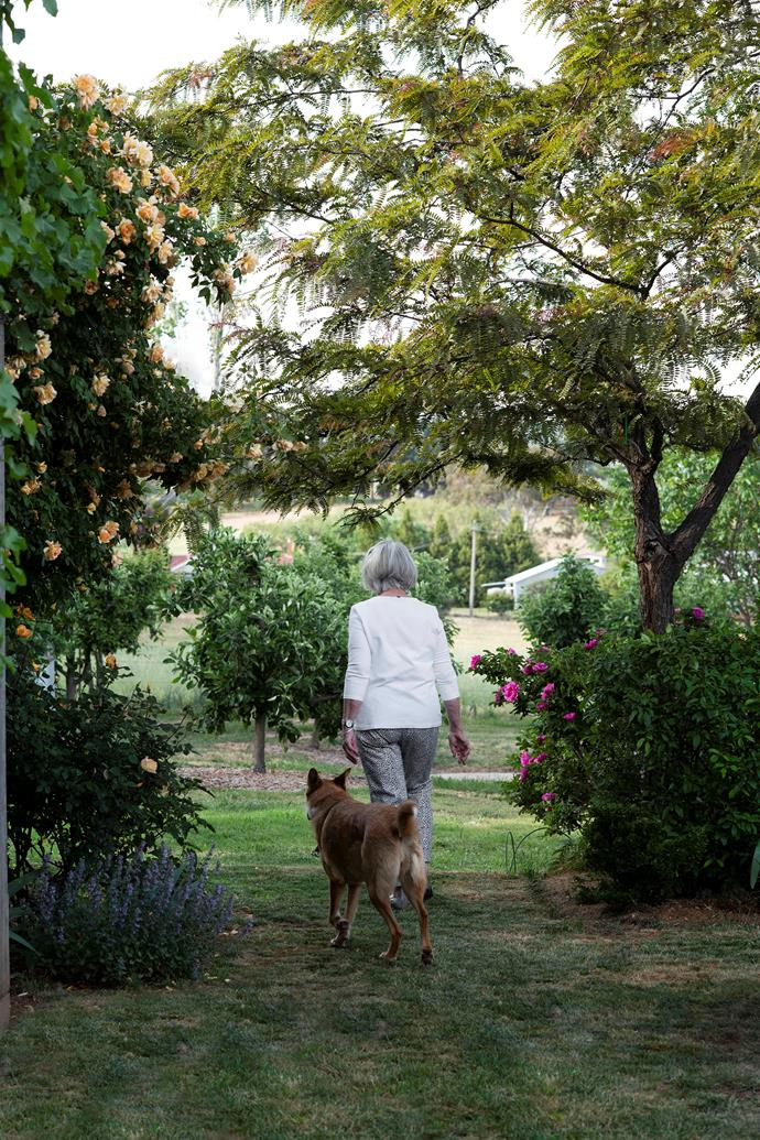 Elizabeth and Lily, a cross breed, walk past an apricot-coloured 'Crépuscule' rose on their way to the orchard.