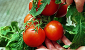 How to save tomato seeds for growing