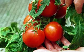 Heirloom tomato varieties on a table