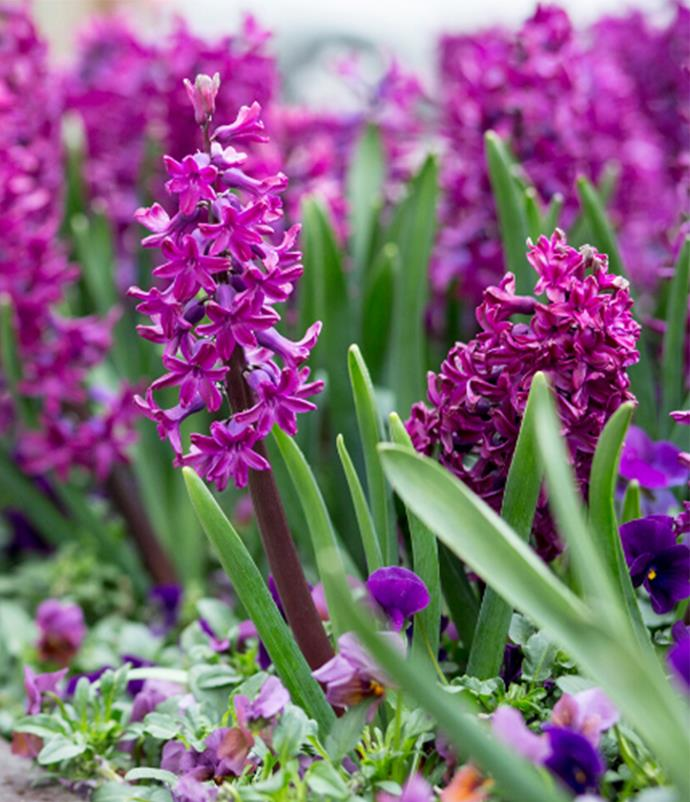 "**Hyacinth**<br>  Oh so sweet [hyacinths](https://www.homestolove.com.au/how-to-grow-hyacinth-8076|target=""_blank""), with their little star shaped blooms! Strongly scented in delightful shades of lilac, deep wine, white, lemon, pink and coral, they marry well with sweet peas and anemones. Individual blooms make for pretty for hair accents."