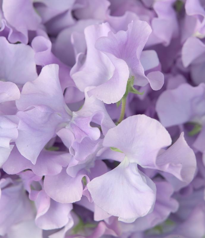 "**Sweet pea**<br> The ruffled, paper-petaled [sweet pea](https://www.homestolove.com.au/sweet-peas-9952|target=""_blank"") is often used as a term of endearment. Its delicate perfume made it a floral sensation in the 1800s and a popular choice for bridal bouquets. Available in a candy store of colours, the sweet pea is a timeless classic."