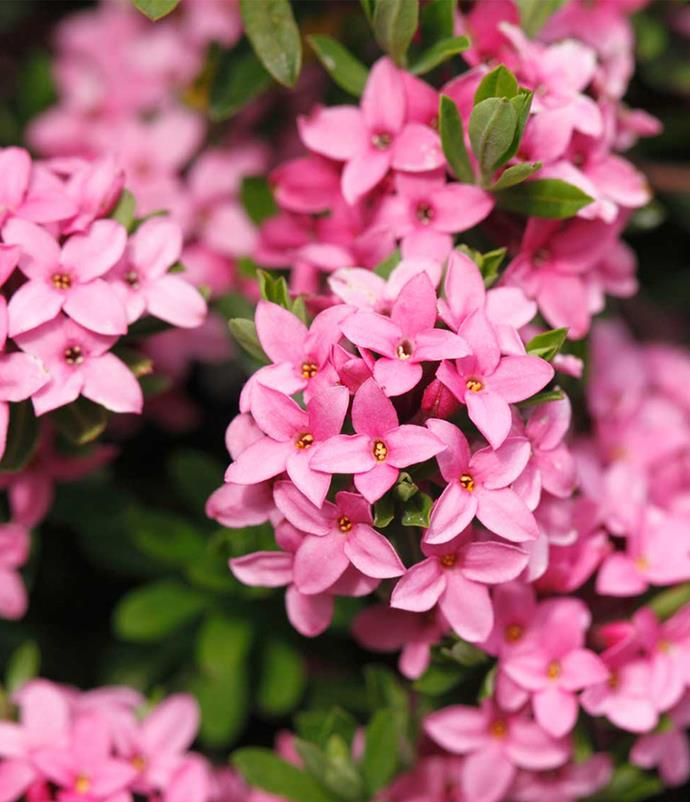 "**Daphne**<br> A shrub with scented, petite star-shaped blooms in deep pink and white. In Greek mythology, [Daphne](https://www.homestolove.com.au/daphne-9855|target=""_blank"") stole the heart of god Apollo and was turned into this bloom to protect herself from his advances. Lovely in a little cluster or mixed with other pink blooms."
