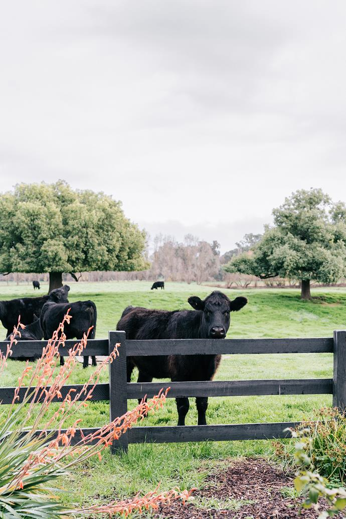 An Angus cow.
