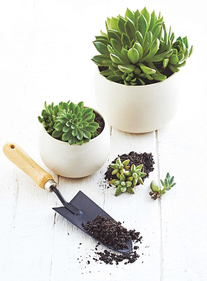 ">> [How to grow succulents](https://www.homestolove.com.au/how-to-grow-succulents-video-8886|target=""_blank"")"