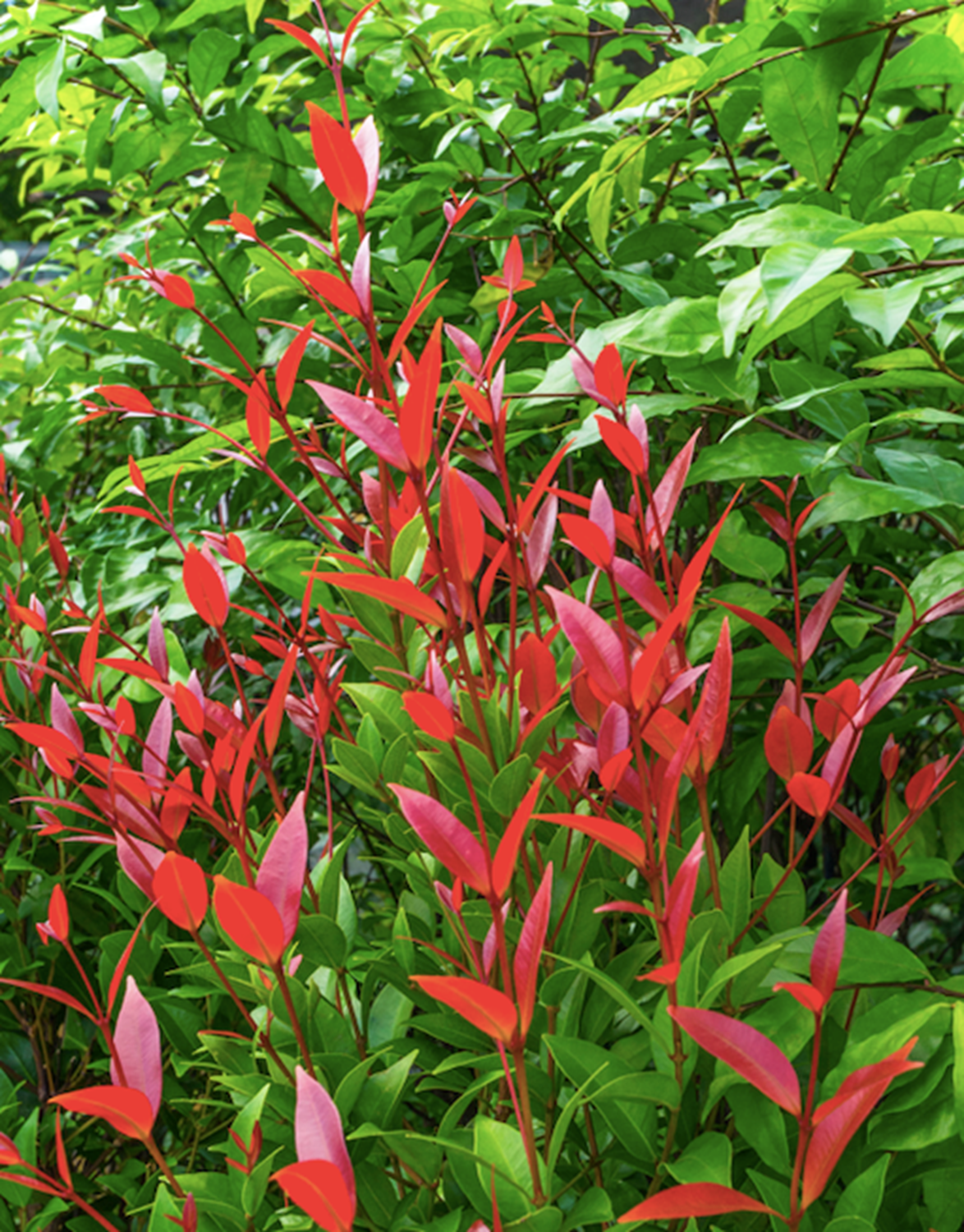 Lilly pillies produce foliage in various colours from lush green to gold and crimson red.
