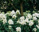 5 beautiful hydrangea varieties to grow in your garden