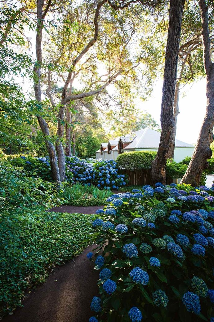 "Beyond the hydrangeas, a row of Chilean myrtle (Luma apiculata) has been pollarded against a low wall behind the marri tree in [The Secret Garden Margaret River](https://www.homestolove.com.au/hydrangea-garden-design-13870|target=""_blank""), designed by gardener Pat Poynter and Paul Bangay."