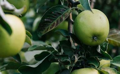 Apple dimpling bug: How to prevent and control this pest