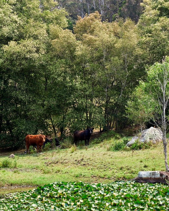 Cattle enjoying their bucolic surroundings.