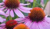 Echinacea flower: varieties and care tips