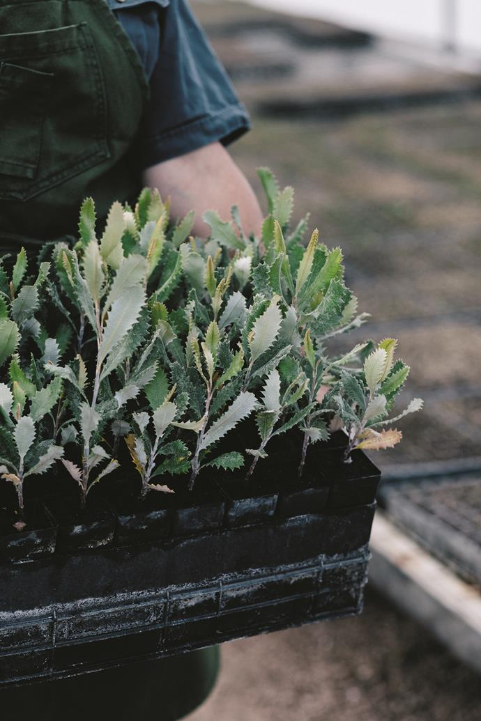 Banksia media seedlings.