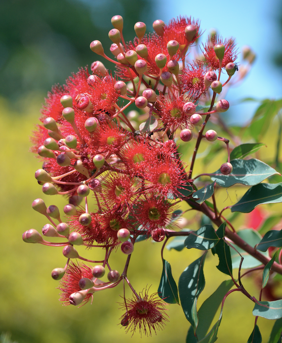 The Western Australian Red Flowering Gum (Corymbia ficifolia) is now grafted onto a range of hardy rootstocks, making it perfect for growing right across Australia.
