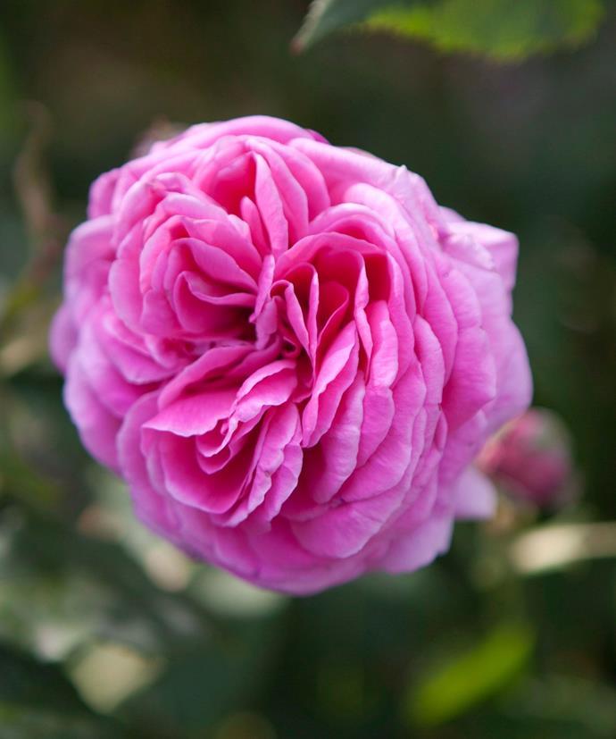A beautiful Bourbon rose.
