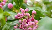 How to grow and care for lilly pilly trees