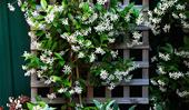 Star jasmine: care tips for this fragrant flower