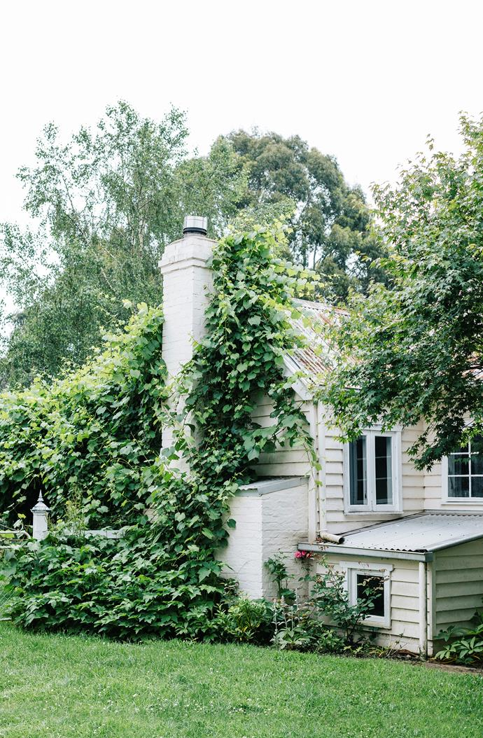 An ornamental grapevine is allowed to ramble over a chimney.