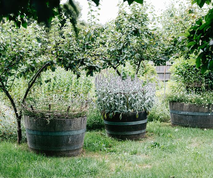 Under quince trees lies half wine barrels full of seaside daisies and lamb's ear.