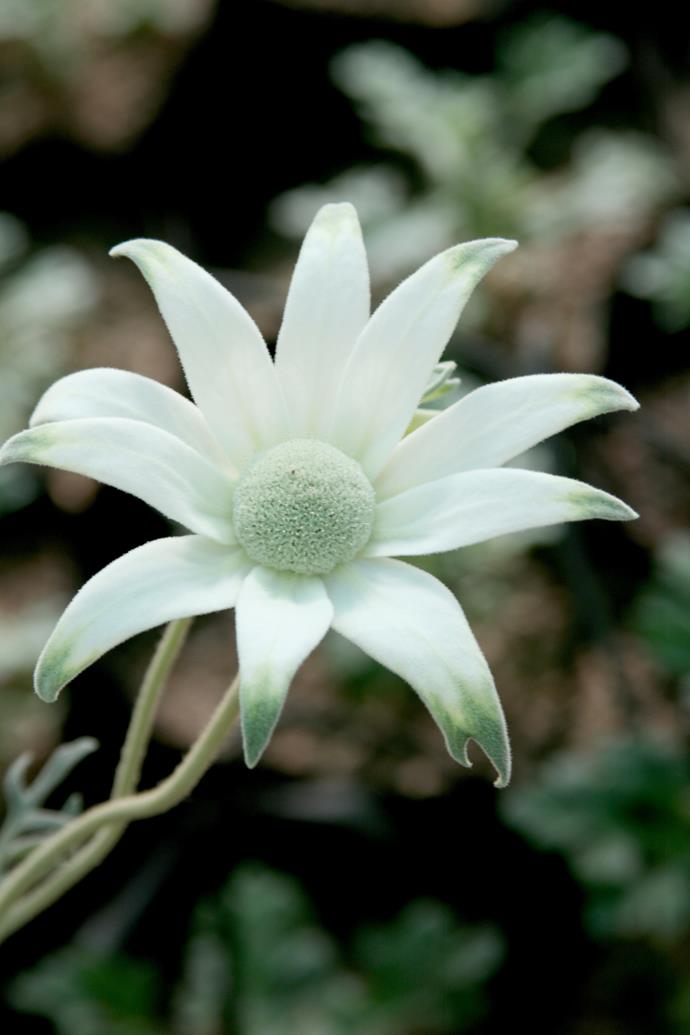 Flannel flowers look like daisies but are part of the carrot family (Apiaceae).
