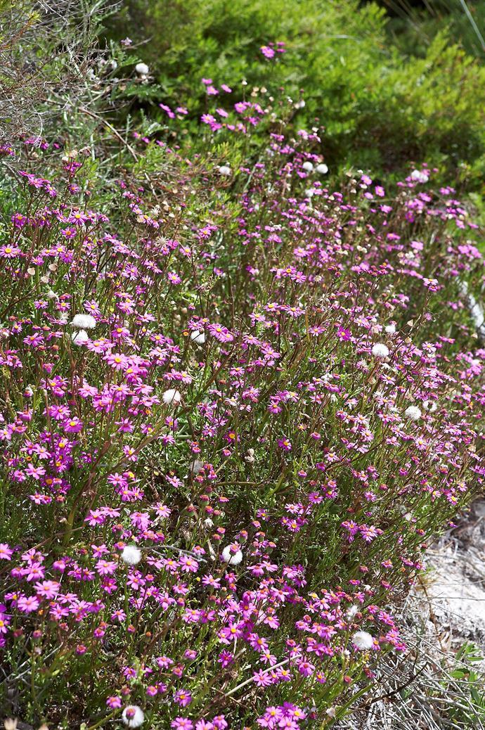 Everlasting dasies in bloom in Western Australia.