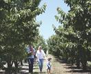 Cherry picking season at Hillside Harvest, NSW