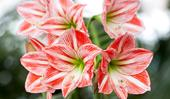 How to grow and care for Christmas lily (Amaryllis) plants
