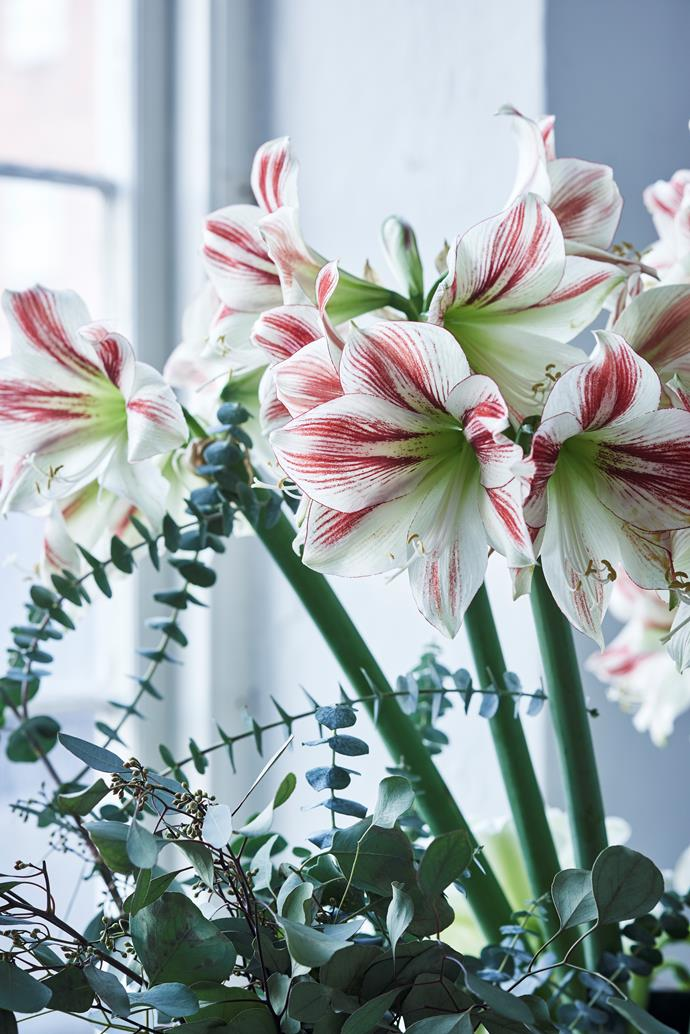 Whether you arrange them with other flowers or let them shine on their own, Christmas lilies make for a striking display.