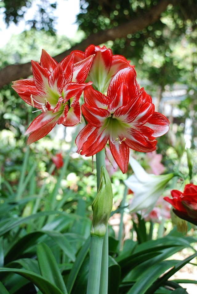 Amaryllis grow well in most parts of Australia and also thrive in pots.