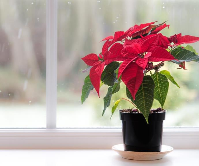 "[**Poinsettias**](https://www.homestolove.com.au/plant-guide-poinsettias-9661|target=""_blank"") are a classic festive flower and a great way to decorate your mantel or table."