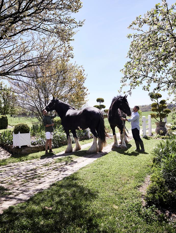 Steve and Michael's beloved shire horses are in beautiful condition. Ebony (left) is 14 years old while Brave is four years old.