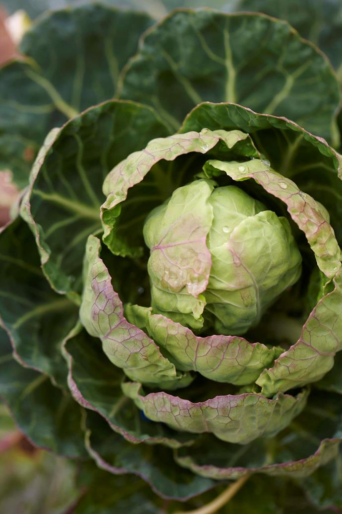 A Brussels sprout plant in Maggie's kitchen garden.