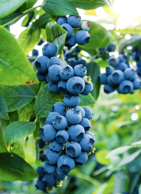 "**Sun lover:** Blueberry   Delicious [blueberries are easy to grow](https://www.homestolove.com.au/how-to-grow-blueberries-9982|target=""_blank"") in pots and have pretty, profuse flowers. Choose evergreen varieties such as Blueberry Burst to look good year-round."