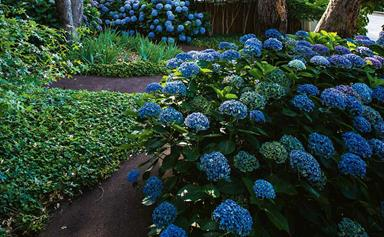 How to grow and care for hydrangeas in your garden