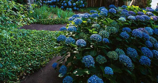 Hydrangeas: how to grow and care for hydrangeas in your garden