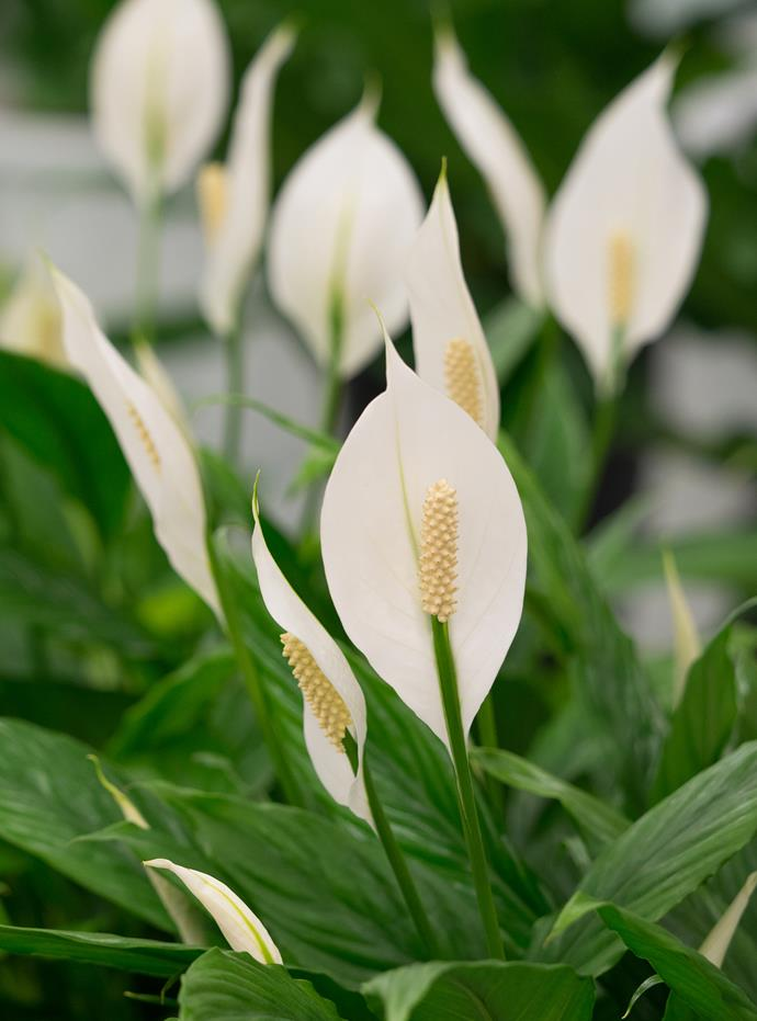 Peace lily is one of the world's favourite indoor plants as it flowers in low light and is hard to kill, but it can also be grown outdoors in a warm, shaded garden or in a vertical garden.