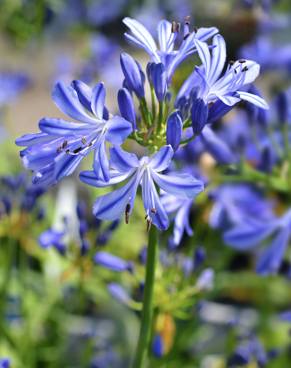 "[Agapanthus](https://www.homestolove.com.au/how-to-grow-agapanthus-9534|target=""_blank"") is a survivor and can be used as a fire retardant planting. It forms clumps of evergreen leaves with heads of blue, white and occasionally pink flowers from late spring to summer. Cut down flowered stems before seeds form as this lovely plant can spread into bushland as a weed. Sterile hybrids such as 'Black Pantha' don't get weedy. Grows in sun or shade but flowers best in sun."