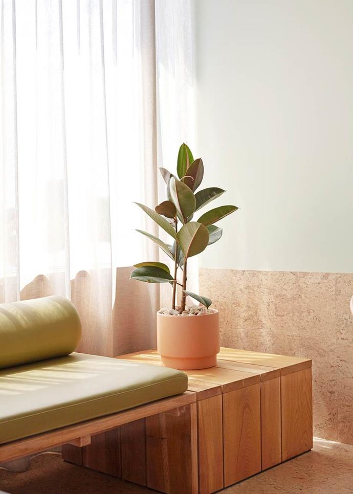 Rubber plant (Ficus elastica) needs bright indoor light. Allow potting mix to dry out between watering. Keep the large leaves dust free, repot this vigorous plant as needed and prune to keep compact. Photgrapher: Sean Fennessy