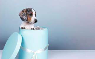 Dachsund puppy inside a light blue hat box tied with a white ribbon